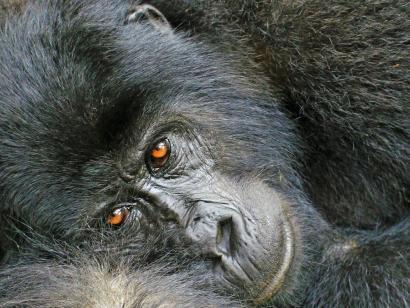 Aktiv im Land der Silberrücken Gorillas, Safari und Wandern in grandioser Natur