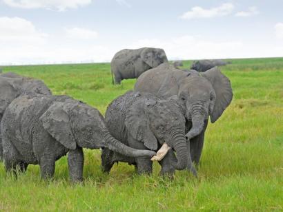 Reise in Kenia, Löwe in der Masai Mara