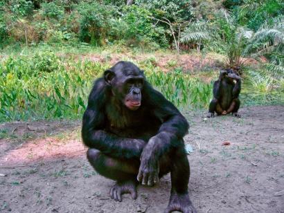 Reise in Demokratische Republik Kongo, Bonobos im Lomako Nationalpark