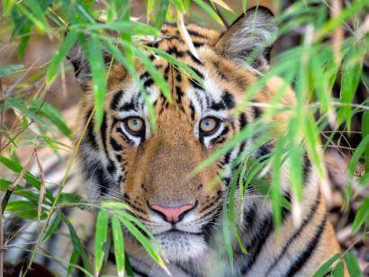 Reise in Indien, Bengal-Tiger