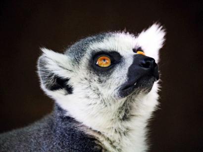 Reise in Madagaskar, Ringelschwanzmaki