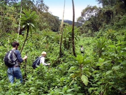 Reise in Ruanda, Gorilla hält sein Jungtier liebevoll fest