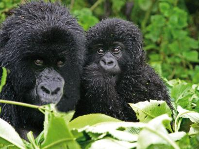 Reise in Ruanda, Gorillajunges und seine Mutter
