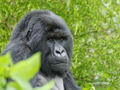 Reise in Uganda, Schimpanse