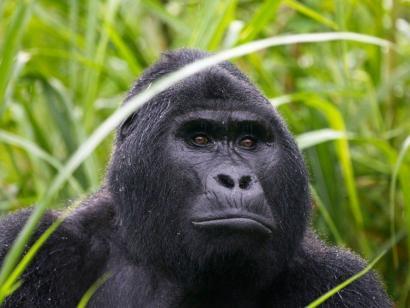 Best of Uganda und Murchison-Nationalpark Berggorillas im Nebelwald, tosende Wasserfälle und Löwen auf Safari