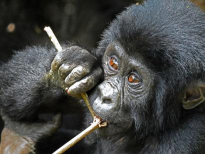 Reise in Uganda, Der durchdringende Blick eines Gorillas