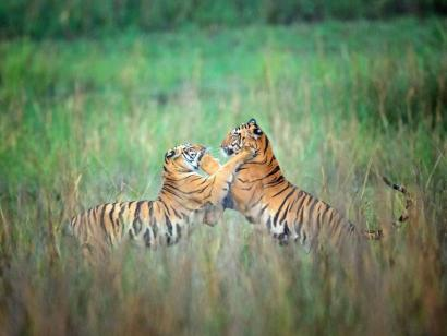 Reise in Indien, Tiger