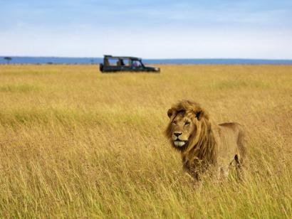 Die Könige der Savanne und des Regenwaldes Flugsafari Löwen in der Masai Mara und Berggorillas im Nebelwald des Bwindi-Nationalparks aufspüren