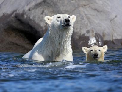 Eisbären und Belugas hautnah Naturreise