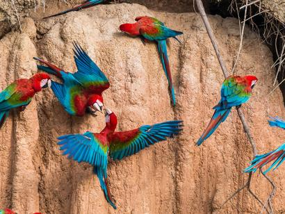 Reise in Brasilien, Aras im Amazonas-Dschungel, Brasilien