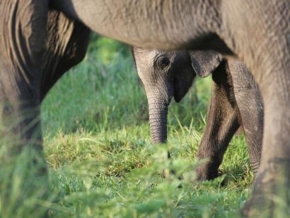 Reise in Kenia, Gepardin und ihre Jungen in der Savanne mit DIAMIRo
