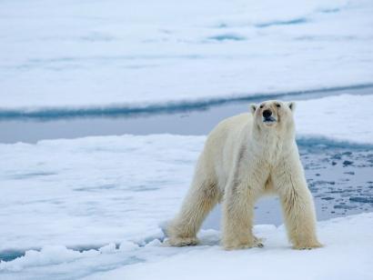 Reise in Spitzbergen, Eisbär