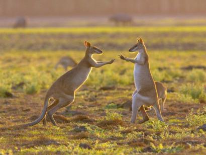 Frühstück mit Kängurus Down Unders Höhepunkte kompakt erleben – Sydney, Blue Mountains, Rotes Zentrum und tropischer Norden