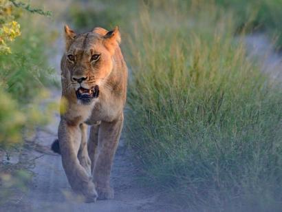 Reise in Südafrika, Löwin