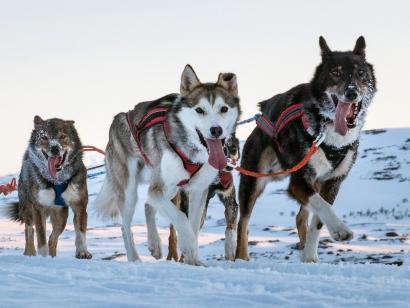 Husky-Wintertraum: Sportlich (Mi – Mi) Etwas anspruchsvollere Variante unseres Husky-Klassikers mit vier Nächten in gemütlichen Wildnishütten