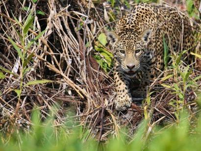 Im Reich des Jaguars Ideal für Natur- und Tierliebhaber – Safari pur im Jaguar-Land