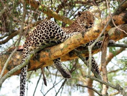 Reise in Tansania, Elefant im Murchison Falls NP