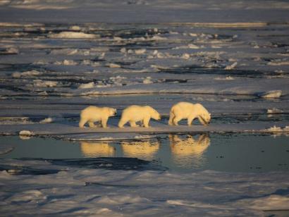 Reise in Kanada, Drei Eisbären im Packeis