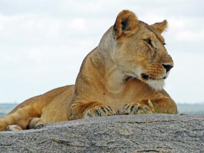 Reise in Tansania, Leopard in der Savanne