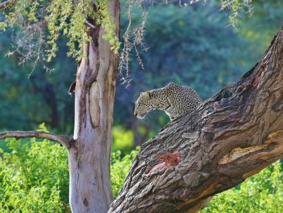 Reise in Kenia, Leopardenmutter mit ihrem Jungen am Wasserloch