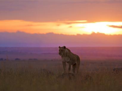 Reise in Kenia, Zebras im Abendlicht