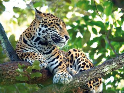 Reise in Belize, Jaguar