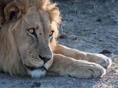 Reise in Namibia, Begegnung in der Kühle des Morgens: Ein Löwe wärmt sich in den ersten Sonnenstrahlen