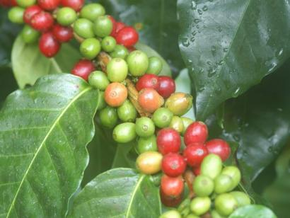 Reise in Nicaragua, Kaffeebohnen.jpg