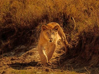 Reise in Kenia, Junger neugieriger Löwe