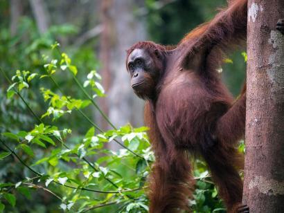 Reise in Indonesien, Orang-Utan Weibchen im Tanjung-Puting-Nationalpark