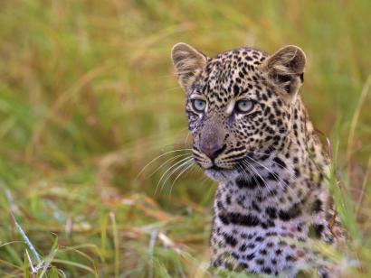 Reise in Kenia, Leopard
