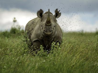 Reise in Kenia, Das Breitmaulnashorn, ein majestätisches Tier