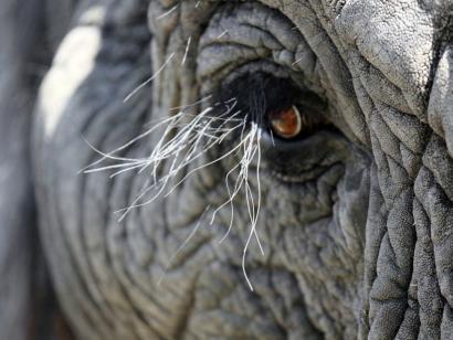 Reise in Botswana, Löwe auf Pirsch im Nationalpark