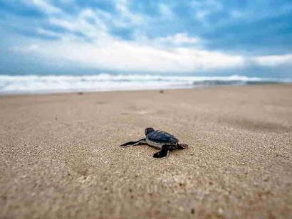 Reise in Kap Verde, Eine Schildkröte auf dem Weg ins Meer vor den Kapverden