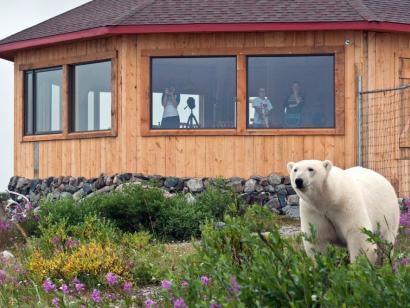 Reise in Kanada, Eisbär direkt an der Seal River Lodge