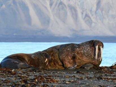 Reise in Spitzbergen, Kleine Gruppe Rentiere in Spitzbergen