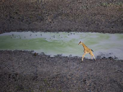 Reise in Tschad, Giraffe