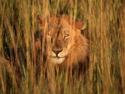 Reise in Sambia, Leopard mit Beute