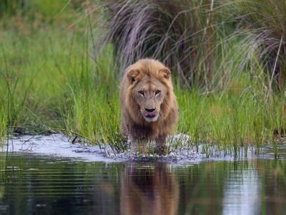 Reise in Botswana, Löwe im Okavango-Delta