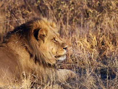 Reise in Botswana, Löwe im Chobe-Nationalpark