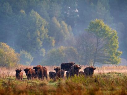 Reise in Polen, Bison-Herde im Bialowieza Nationalpark