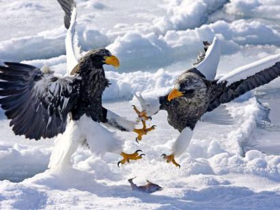 Reise in Japan, Riesenseeadler auf dem Packeis vor Rausu
