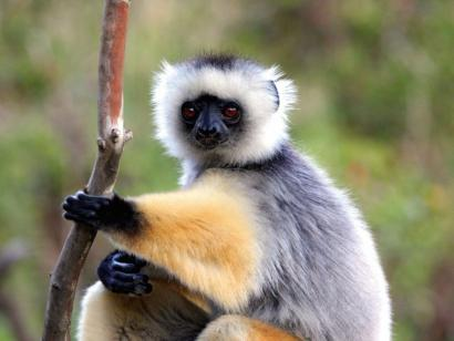 Reise in Madagaskar, Sifaka