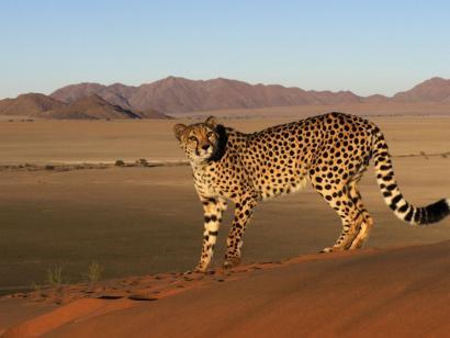 Reise in Namibia, Gepard in der Wüste