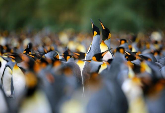 Reise in Antarktis, Mitten in der Königspinguin-Kolonie