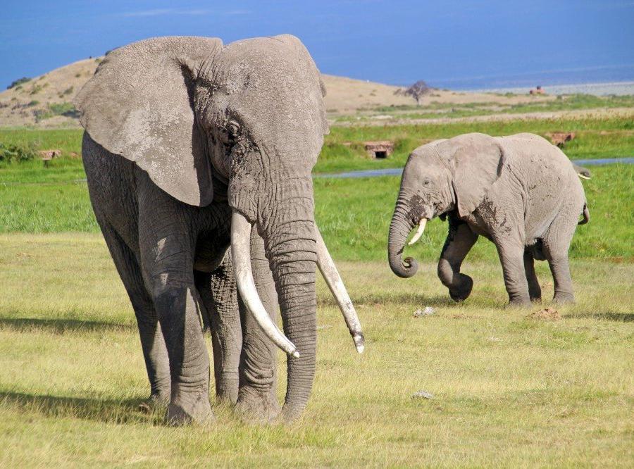 Reise in Kenia, Gnus überqueren den Mara River während der jährlichen großen Migration.