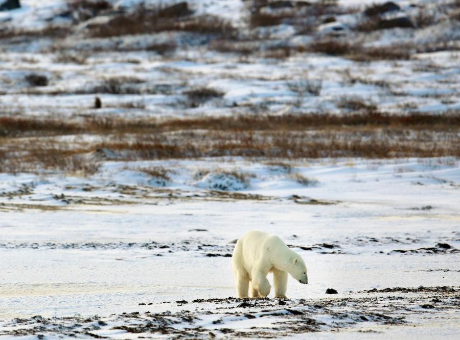 Reise in Kanada, Auf Eisbär-Pirsch an der Hudson Bay Naturreise