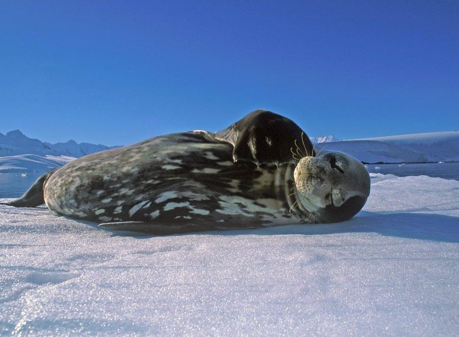Reise in Antarktis, Weddellrobbe