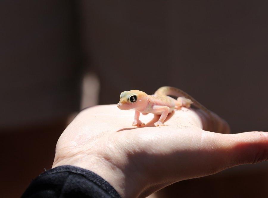 Reise in Namibia, Palmato Gecko
