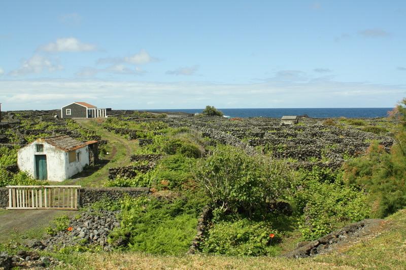 Reise in Portugal, Weinfelder an der Nordküste Terceiras